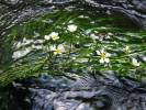 Batrachium fluitans - River Water-crowfoot