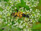 Leptura maculata - Spotted Longhorn