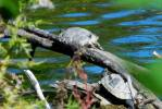 Chrysemys picta belli - Western Painted Turtle