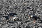 Anser albifrons - Greater White-fronted Goose