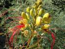 Caesalpinia - nicker