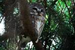 Aegolius acadicus - Northern Saw-whet Owl