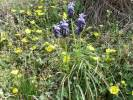 Muscari neglectum - Grape-hyacinth
