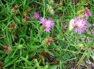 Centaurea aspera - Rough Star-thistle