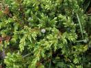 Juniperus communis subsp. alpina - Alpine Juniper