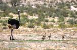 Struthio camelus australis - Southern Ostrich