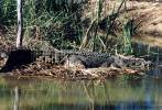Crocodylus porosus - Estuarine Crocodile