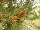 Pinus brutia - Turkish Pine
