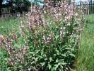 Salvia officinalis - Sage