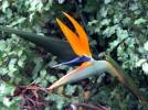 Strelitzia reginae - Bird of Paradise