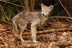 Canis latrans lestes - Mountain Coyote