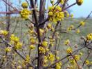 Cornus mas - dřín jarní