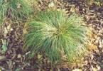 Carex umbrosa - ostřice stinná