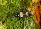 Tachydromia umbrarum - 000000000111