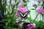 Papilio demoleus - Lime Butterfly