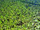 Lemna minor - Common Duckweed