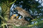 Turdus philomelos - Song Thrush