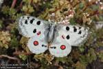 Parnassius apollo brittingeri