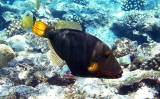Balistapus undulatus - Orange Striped Triggerfish
