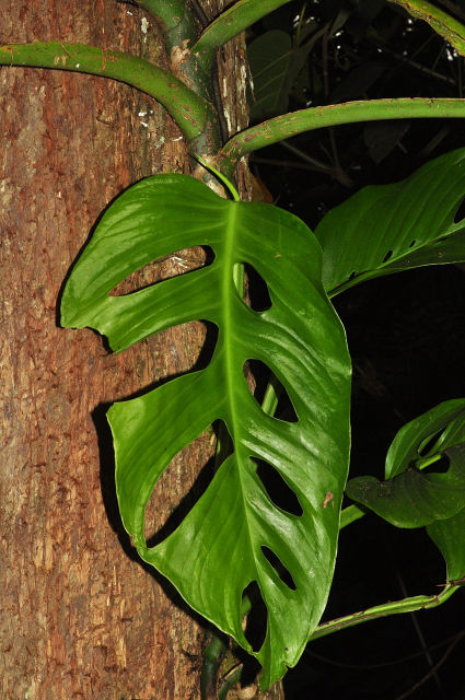 Philodendron - filodendron