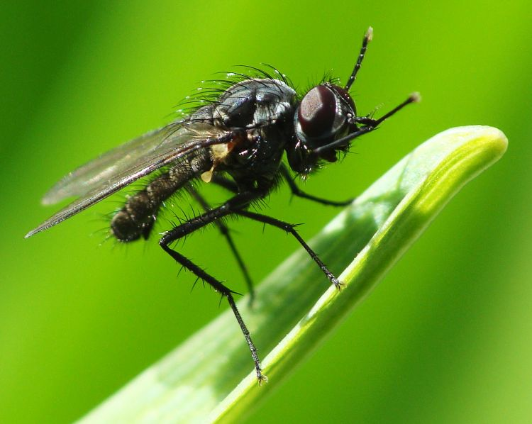 Diptera - true flies, mosquitoes and gnats