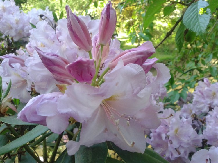 Rhododendron - rhododendron