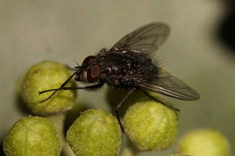 Calliphoridae - blow flies