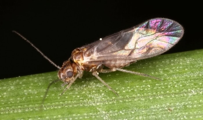 Psocoptera - book and bark lice