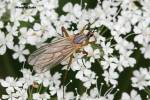 Empididae - dance flies