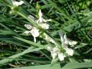 Stachys - hedgenettle