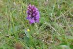 Dactylorhiza - keyflower