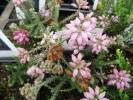 Erica tetralix - Cross-leaved Heath