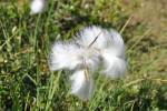 Eriophorum - cottongrass