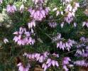 Erica carnea - Winter Heath