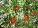 Callistemon - bottlebrush