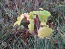 Acer negundo - Ashleaf Maple