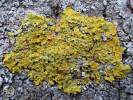 Xanthoria parietina - Orange Wall Lichen