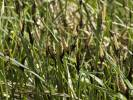 Carex - sedge